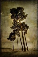 5 trees (biancavanderwerf) Tags: old tree texture dutch landscape 5 bianca memoriesbook thesecretlifeoftrees creattivit graphicmaster