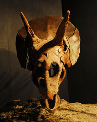 WLA-HMNS-Triceratops