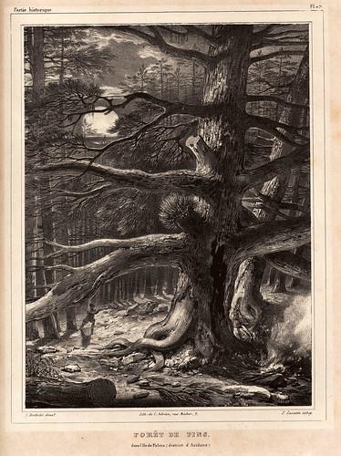 008-Bosque de pinos isla de La Palma- Aridane