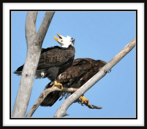 Puzzling Bald Eagle Behavior | Flickr - Photo Sharing!