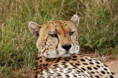 Cheetah Face (Picture Taker 2) Tags: africa macro nature beautiful closeup cat outdoors colorful pretty native wildlife bigcat cheetah curious wilderness coalition plains predator upclose mammals pictureperfect wildanimals africaanimals masimarakenya naturewatcher flickrbigcats