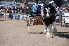 (The Pelton Vanners Gypsy Vanner Horses) Tags: horse gypsy vanner