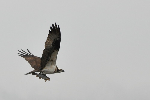 Osprey (close crop)