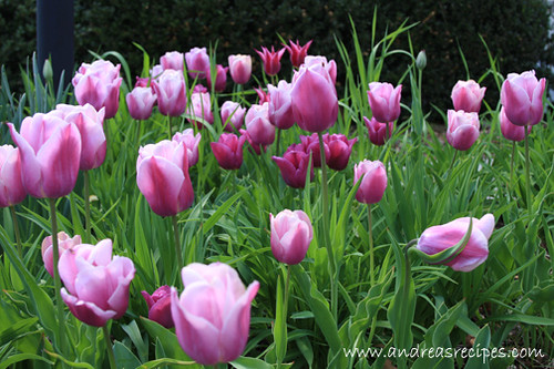 Andrea's Recipes - Tulips