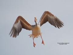 Landing (CLICK GROUP معين الشريف Moeen) Tags: nikon saudiarabia معين jazan gizan السعودية نيكون الشريف المملكةالعربيةالسعودية جيزان d40x جازان الهويدي