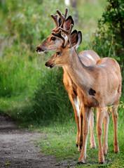 Pairs (caradawncd) Tags: wild canada nature wildlife pair deer alberta sanctuary bfgreatesthits platinumpeaceaward