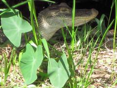 smiling for the camera (angelnfreefall) Tags: lakes parks aquaticplants alligators aquaticlife wadingbirds