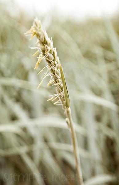Wild grass 3