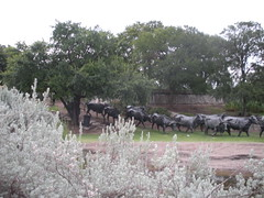 Cattle Drive in Pioneer Plaza