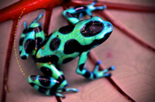 Poison Dart Frog. Green poison dart frogs