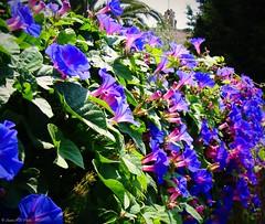 Blues (SantiMB.Photos) Tags: flowers espaa flores fence lomo xprocess procesocruzado spain kodak crossprocess hedge catalunya tarragona valla seto convulvulus cunit baixpeneds