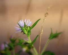 A Very Soft  View. (~ Nanette ~) Tags: friends wild flower macro beautiful simplicity nanette bokehlicious