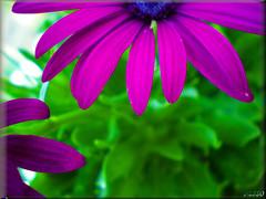 purple beauty.. (vasso -mil. Greece) Tags: camera flowers flower macro green nature beautiful flickr colours hellas olympus fresh explore fantasy colourful 2009 flickers olumpus    colorphotoaward