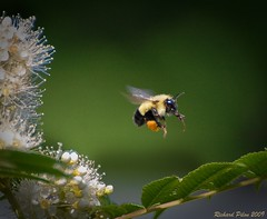 Bumblebee leaving False Spirea (Richard Pilon) Tags: false spirea bumblebee bee pollen plants flowers leaving infinestyle bestofmywinners flickrsbest beautiful