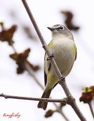 IMG_9677ac (tinyfishy (Storage Site Only)) Tags: blue black headed vireo