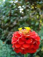 Floarea pentru Flori Jianu