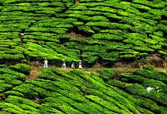 Crop husbandry (QooL /   ) Tags: travel landscape clothing workers tea hill spray malaysia plantation protective cameronhighlands hilly pahang hedges qool sgpalas qoolens