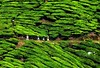 Crop husbandry (QooL / بنت شمس الدين) Tags: travel landscape clothing workers tea hill spray malaysia plantation protective cameronhighlands hilly pahang hedges qool sgpalas qoolens