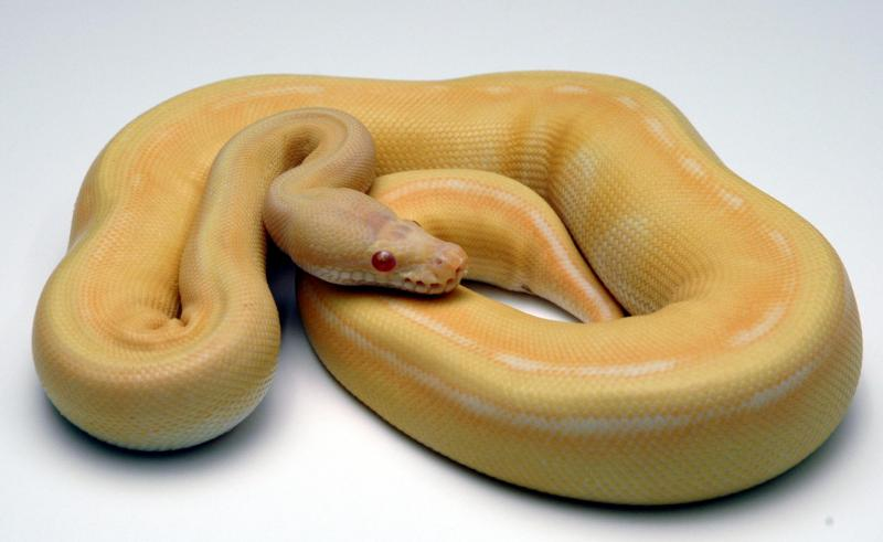 Albino Genetic Stripe Ball Python