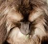 20090901-IMG_1621 (Robin100) Tags: africa animal mammal baboon ethiopia primate baboons gelada geladababoon guassa guassaplateau