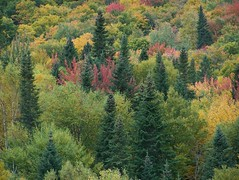 Colorfull Nature   (Lily C.) Tags: red canada green leaves yellow forest jaune rouge woods vert newbrunswick bois feuilles lilyc anawesomeshot maplesleaves feuillesdrables couleure