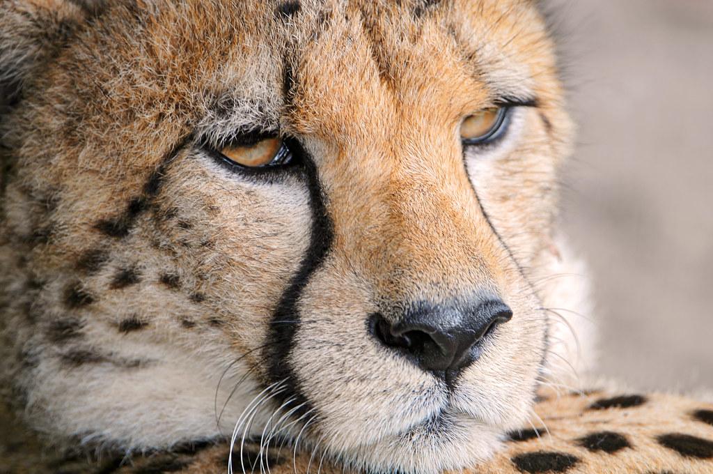 Гепард животное