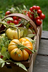 The Last of the Tomatoes (Chiot's Run) Tags: yellow tomato basket tomatoes harvest organic edible homegrown nongmo