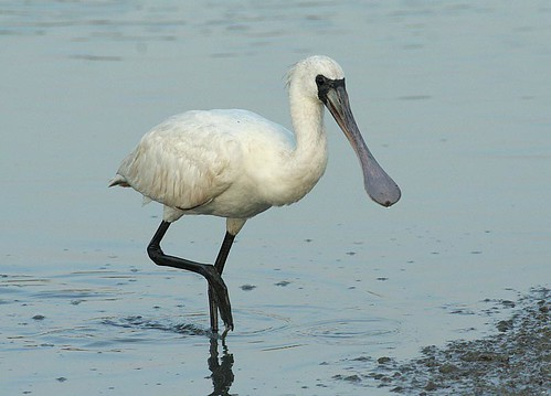 black faced spoonbill