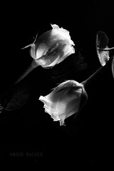 ... (anoob backer) Tags: two bw monochrome rose petals stem copyrighted backer formylove 50mm14d anoob acrylicsheet nikond40 zerowattcoloredlights manual50mm14dlens anoobbacker anoobbackerphotography