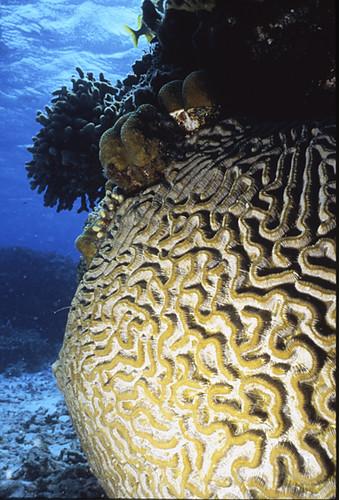 Brain Coral, TCI