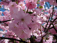 See things through rose-colored glasses! (catlovers) Tags: pink macro tree nature canon cherry spring blossom natur blossoms rosa catlovers awesomeblossoms monisertel fleursetpaysages