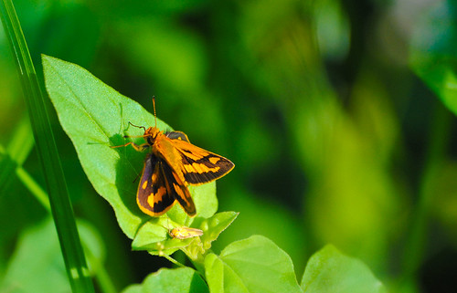 Orange Leaf Hopper