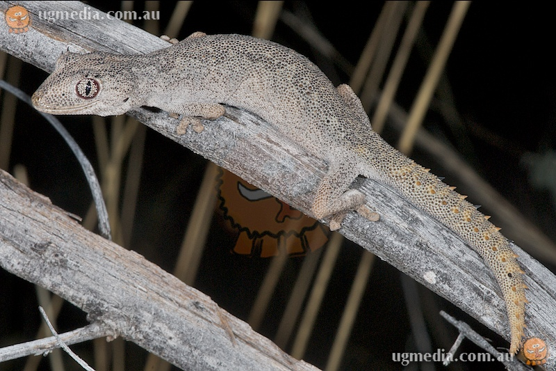 Northern spiny-tailed gecko (Strophurus ciliaris aberrans)