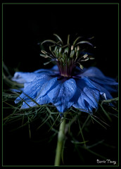 Love in the Mist (BarrieT) Tags: flowers stilllife photostacking