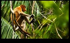 proboscis monkey (www.infografiagijon.es) Tags: naturaleza male nature canon monkey mono selva asturias jungle sarawak malaysia borneo macho gijon narigudo kuching xixon bako proboscis joven markii malasia asturies simios infografia astur joung malasya eos5d hernancad wwwinfografiagijones mygearandme mygearandmepremium