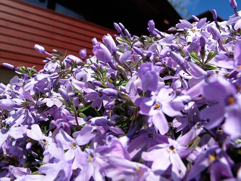 purpleflowers-0511