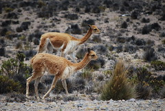 Two Vicuñas