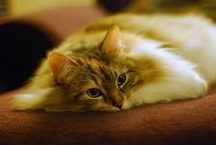 Itinerant Kittyloaf (Johnath) Tags: cat fuzzy longhair kitty fluffy tigger kittyloaf catsitting d80 bestofcats flomp boc0509