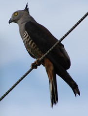 Crested Hawk on Wire 2 (Nathan Harris) Tags: bird hawk australia raptor nsw alstonville northernrivers pacificbaza crestedhawk