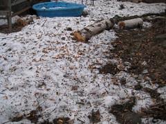 OMG! (MooseNuggette) Tags: stash squirrel peanuts pinecone spruce winddamage squirrelnest sprucecone pineconestash nestdamage