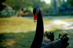 Tainan_20090101_01 (Lordcolus) Tags: color film animal zoo swan flickr meetup minolta kodak minoltax700 taiwan slide tainan   e100vs   mcrokkorx58mmf12 microtekartixscanf1