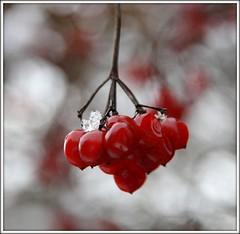 BERRY BOKEH. (Darren Speak) Tags: berry berries bokeh
