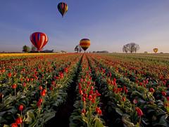 Balloons & Tulips (Dan Sherman) Tags: flowers oregon balloons tulips hotairballoons tulipfestival mtangel tulipfields oregontulipfestival oregontulips woodenshoetuilpfestival mtangeloregon