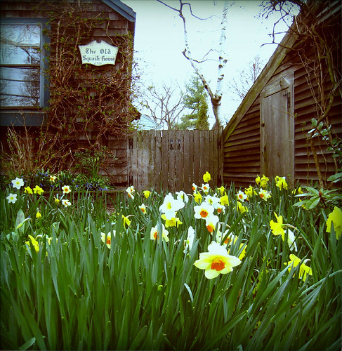 daffodils at the squash house