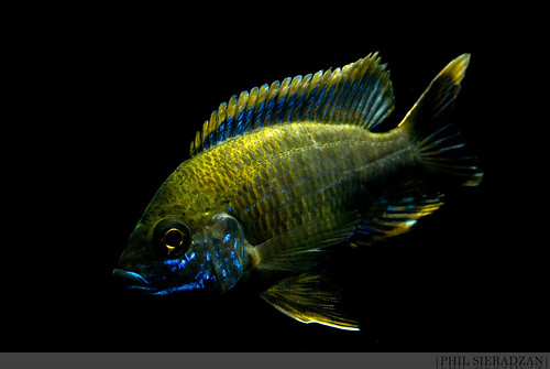 lemon jake peacock cichlid - photo #39