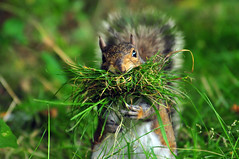 Once Thought Extinct...The Maryland Turf Squirrel (ozoni11) Tags: nature grass animal animals interestingness weed nikon squirrel squirrels critter 7 maryland explore critters rare turf extinction extinct d300 interestingness7 i500 explore7 michaeloberman ozoni11