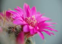 Mammillaria zeilmanniana fucsia-2009 (7) (asac_cactus) Tags: cactus mammillaria zeilmanniana asac mammillariazeilmanniana