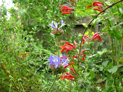 Salvia clevelandii, Keckiella cordifolia