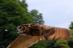 Owl In Flight (Scott Michaels) Tags: bird birds nikon pittsburgh pennsylvania flight owl northside greathornedowl nationalaviary d40 aviculture nikon70300mmvr avianexcellence