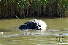 Hippo Mom & pup